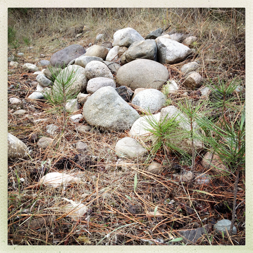 rocks and baby pine trees