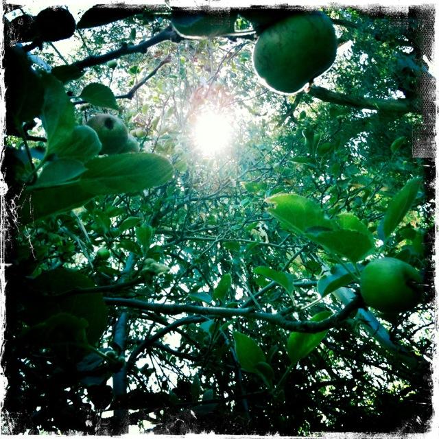Apples in Los Angeles