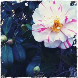 camellia Queen of Hearts